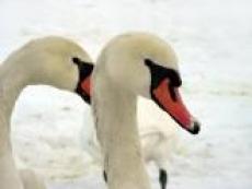 Спасатели Марий Эл выехали на спасение лебедей